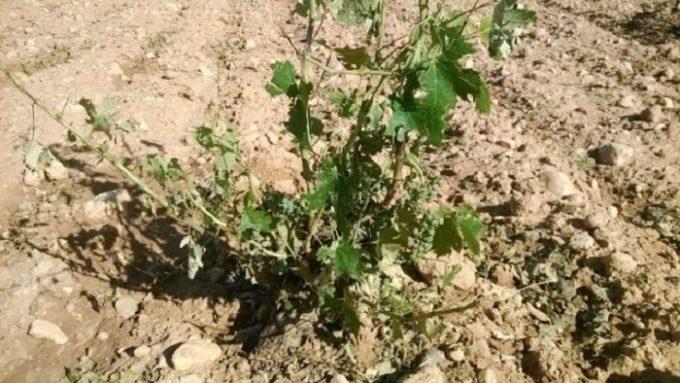 Imagen del daño en los cultivos en la zona de Tobarra, también castigada por las tormentas de granizo. FOTO: Asaja Albacete.