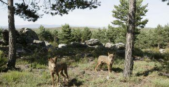 El lobo, en situación crítica, precisa de atención urgente en Guadalajara